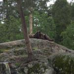 Mamma björn har fullt upp med 2 av ungarna som brottar ned henne för att komma åt lunchen.