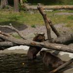 Brunbjörn 9
