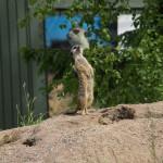 Sture surikat hade stenkoll på allt som rörde sig i luften.