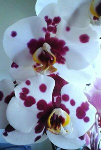 Orkidéernas egen dalmatiner!