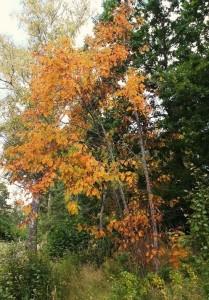Rönnen är redan helt orange. Nu kommer hösten! Hoppas jag.