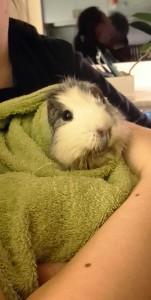 Inlindad i en handduk efter att vår egen marsvinsviskare har stödmatat henne. Hon ser inte alltför missnöjd ut, men hon var tvungen att återställa frisyren efteråt.