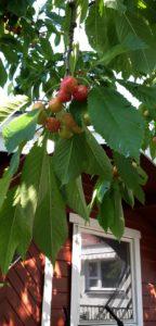 Det växer körsbär vid dagiset eller förisen som man tydligen kallar det nu för tiden.