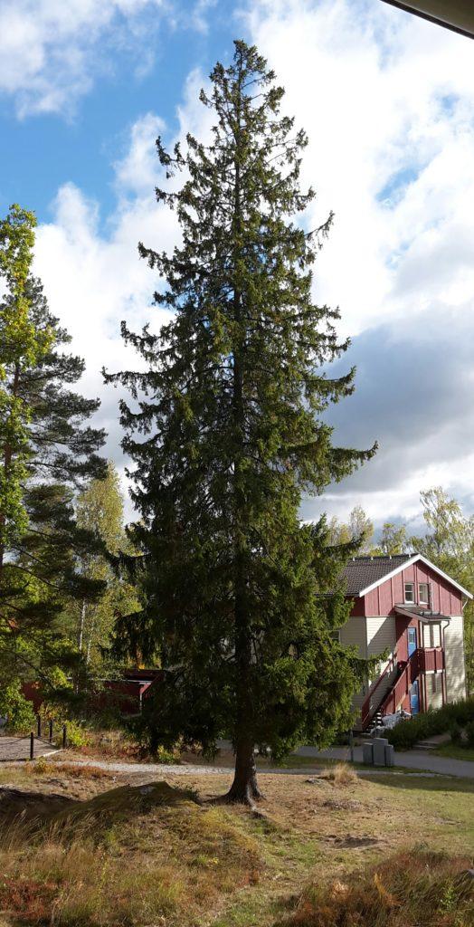 Enligt förslaget kommer flera större träd att sparas, men inte den här granen. Den är frisk. Den har stått pall för flera stormar i 17 år och den kommer att tas ned. Fy fan vad det kommer att bli tomt!!!